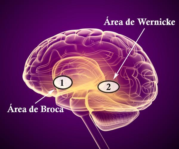 Área de Broca y Wernicke: diferencias y funciones - Dónde se encuentran ubicadas el área de Broca y Wernicke