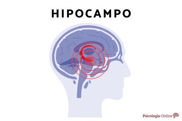 ¿Qué es el hipocampo y cuál es su función? - Localización del hipocampo