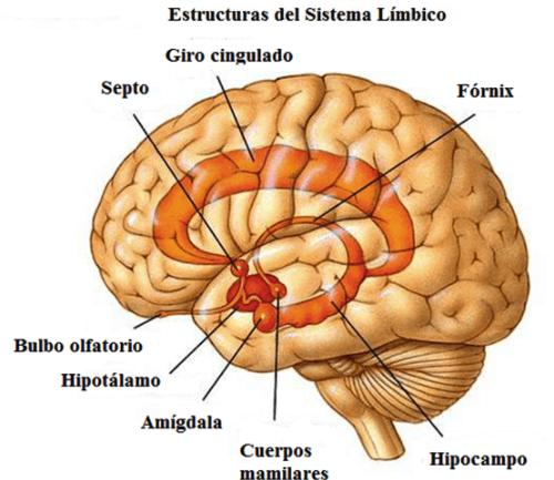 El sistema nervioso 'emocional' - El sistema Límbico