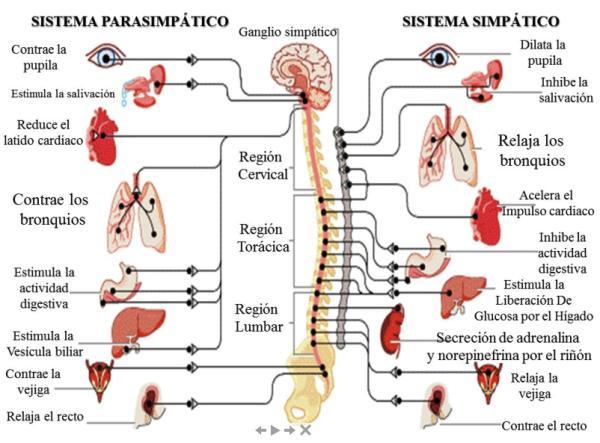 El sistema nervioso 'emocional' - El sistema nervioso autonómico