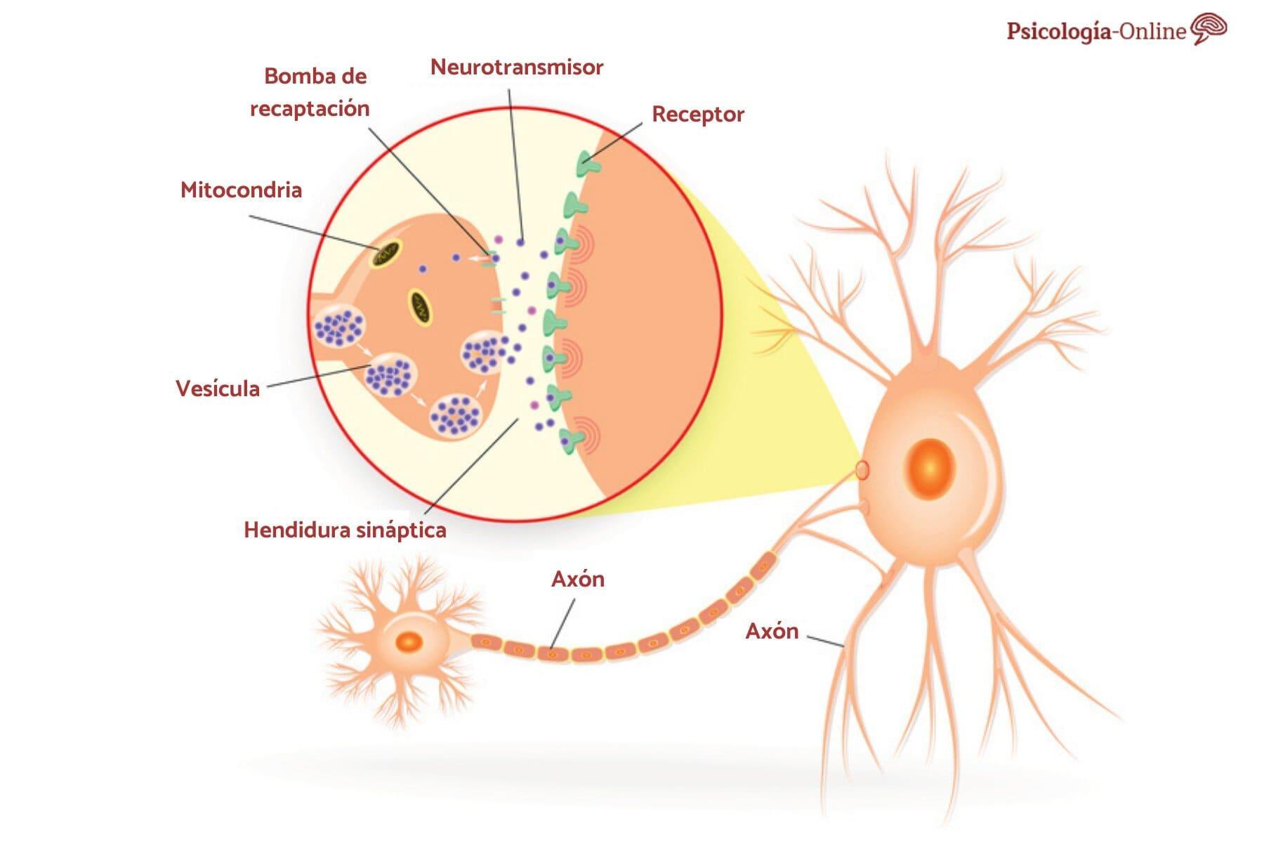 Qué Son Los Neurotransmisores Tipos Y Funciones