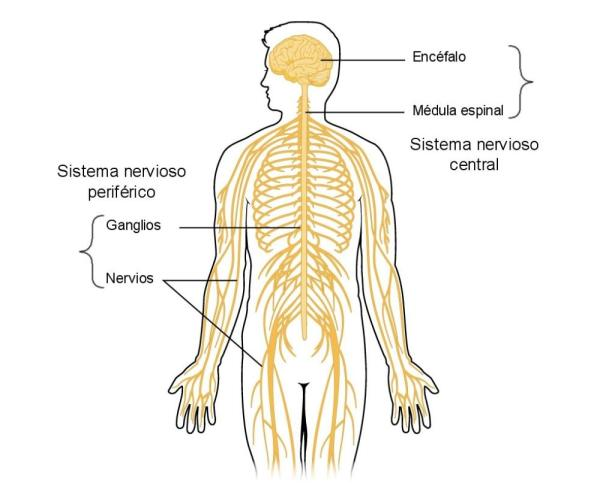 Sistema nervioso periférico: funciones y partes - Sistema nervioso periférico