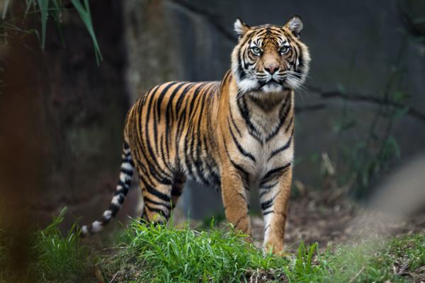 Qué significa soñar con tigres - Qué significa soñar con tigres de bengala