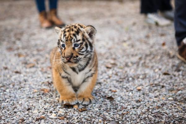 Qué significa soñar con tigres - Significado de soñar con tigres pequeños
