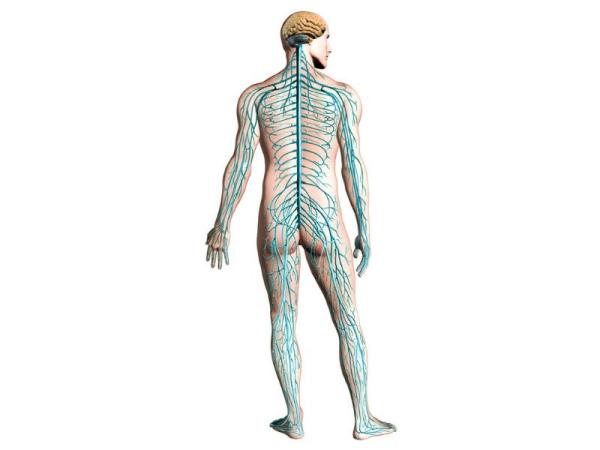 Sistema nervioso somático: qué es y función