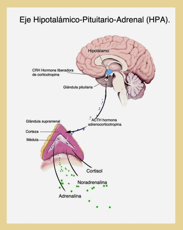 Cómo afecta el estrés al sistema nervioso - Efectos del estrés en el cerebro