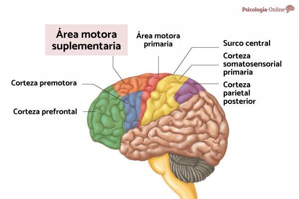 Área motora suplementaria: qué es, función y lesión