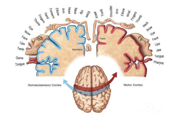 Qué es el homúnculo de Penfield sensorial y motor - Los dos homúnculos cerebrales