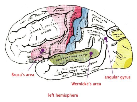 La corteza cerebral: funciones y partes - El lenguaje y la corteza cerebral