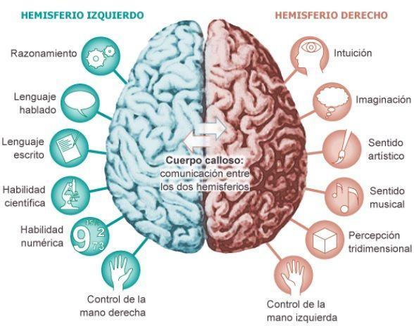 La corteza cerebral: funciones y partes - Los hemisferios cerebrales