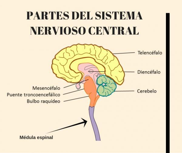 Sistema Nervioso Central: Funciones y partes - Partes del Sistema Nervioso Central