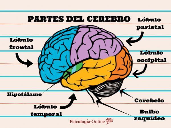 Sistema Nervioso Central: Funciones y partes - Partes y funciones del encéfalo