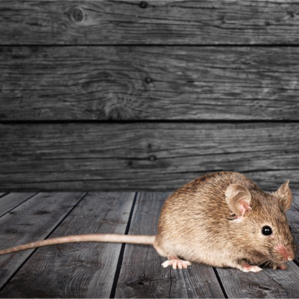 Miedo A Los Ratones O Musofobia Sintomas Causas Y Tratamiento