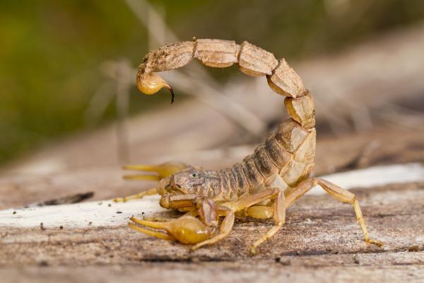 Qué significa soñar con escorpiones - Qué significa soñar con escorpiones amarillos