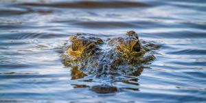 Qué significa soñar con cocodrilos