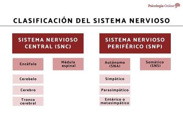 Sistema nervioso autónomo: qué es, partes, funciones y características - Partes del sistema nervioso autónomo