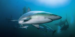 Qué significa soñar con tiburones