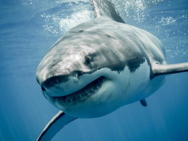 Qué significa soñar con tiburones - Significado de soñar con tiburones blancos