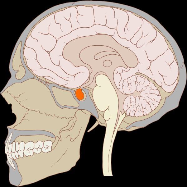 Qué es la glándula pituitaria y su función - Cómo estimular la glándula pituitaria