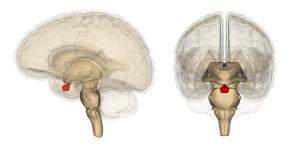 Qué es la glándula pituitaria y su función