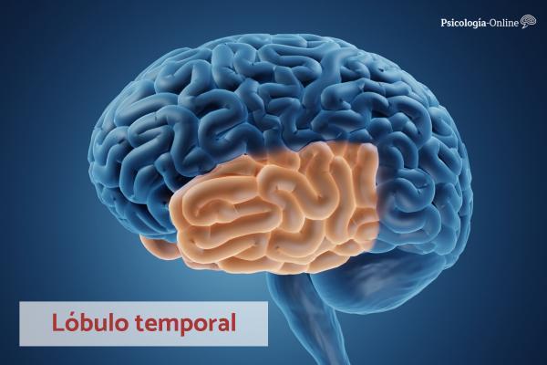 Lóbulo temporal: función, áreas, características y lesiones