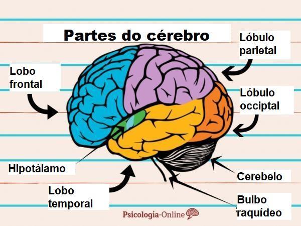 Partes do cérebro e suas funções - Partes do cérebro: córtex cerebral