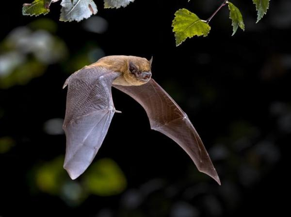 O que significa sonhar com morcego - Sonhar com morcego voando