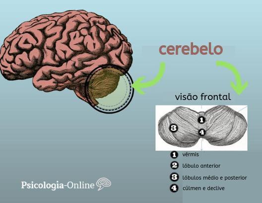 O que é cerebelo: anatomia, funções e doenças - Cerebelo: anatomia