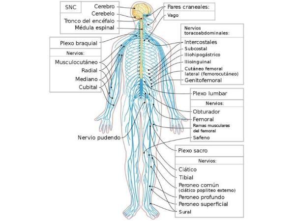 Sistema nervoso somático: o que é e sua função - Sistema nervoso somático