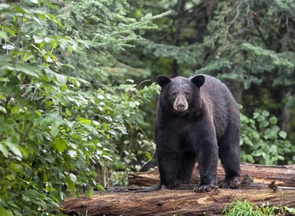 O que significa sonhar com urso - Sonhar com urso preto