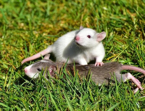 O que significa sonhar com rato - Significado de sonhar com rato correndo