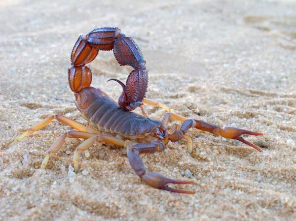 O que significa sonhar com escorpião