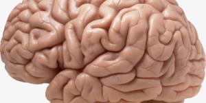 Córtex cerebral - áreas e funções corticais